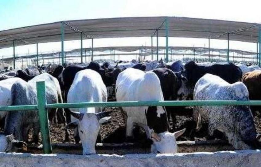 الزراعة: استيراد 66 ألف رأس ماشية و39 ألف جمل و130 ألف طن لحوم وأسماك