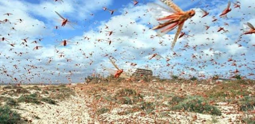 الأمم المتحدة للأغذية والزراعة: جيوش من الجراد تغزو دول البحر الأحمر